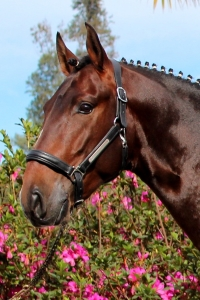 Haras das Mangueiras - Cavalos Vendidos - Decanter das Mangueiras