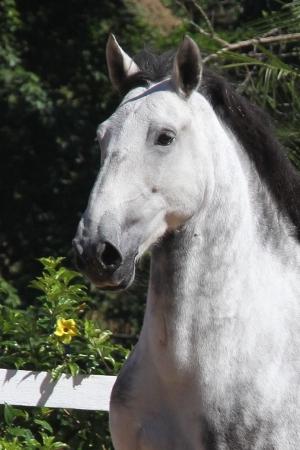 Haras das Mangueiras - Horse for sale - Destino das Mangueiras