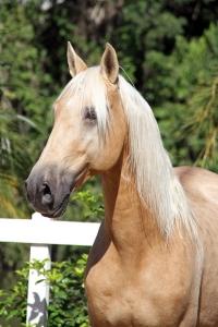 Haras das Mangueiras - Cavalos a Vendas - Zeus de Quintana