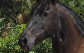Haras das Mangueiras - Cavalos a Vendas - Fenix das Mangueiras