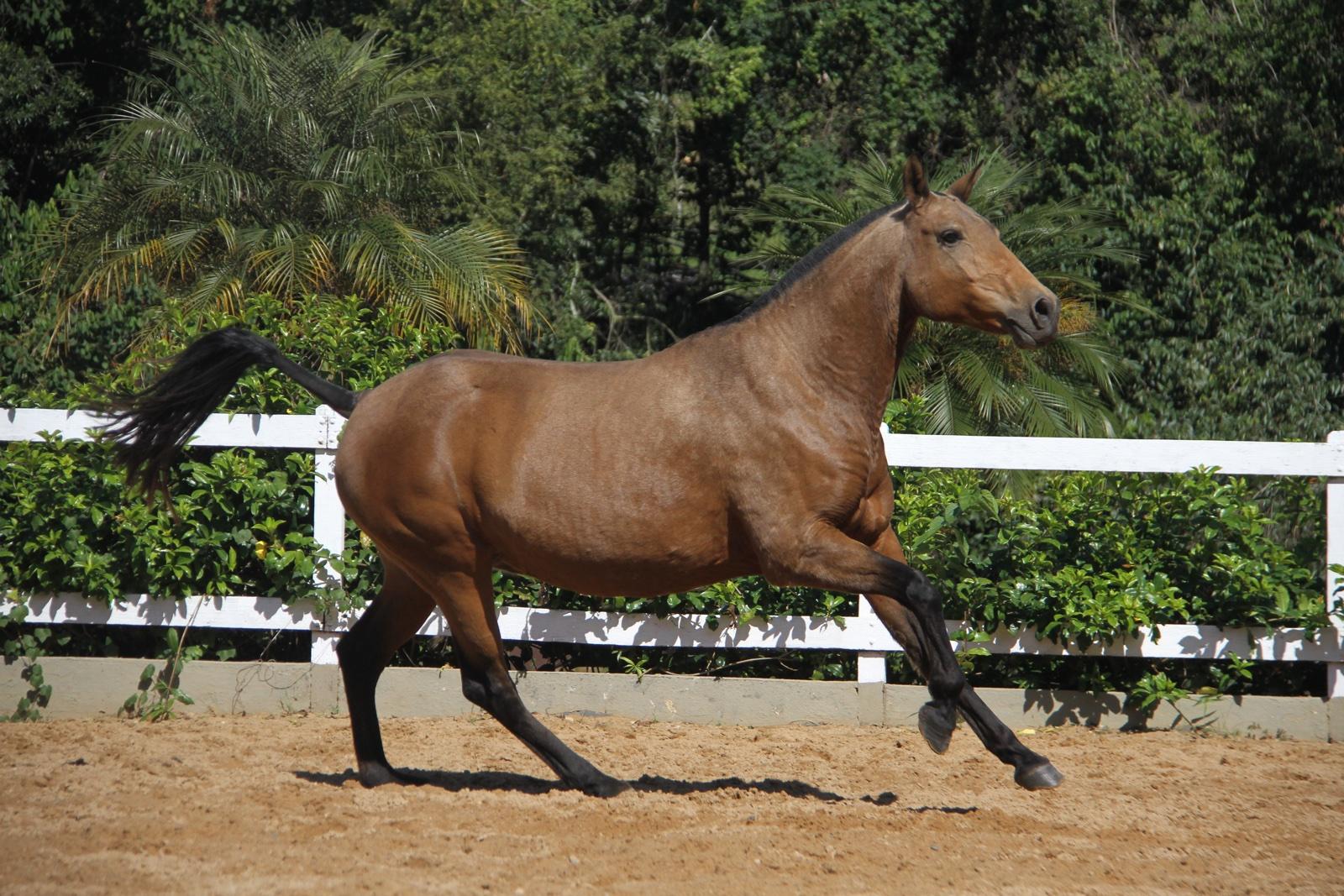 Haras das Mangueiras - Cavalos a Vendas - Ainda do Retiro
