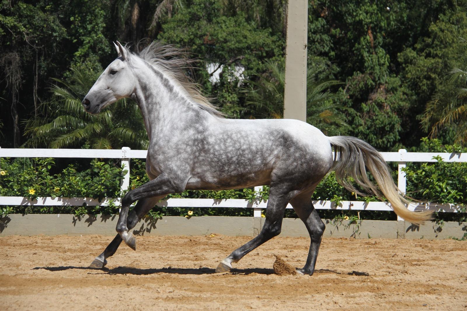 Haras das Mangueiras - Cavalos a Vendas - Czarina das Mangueiras