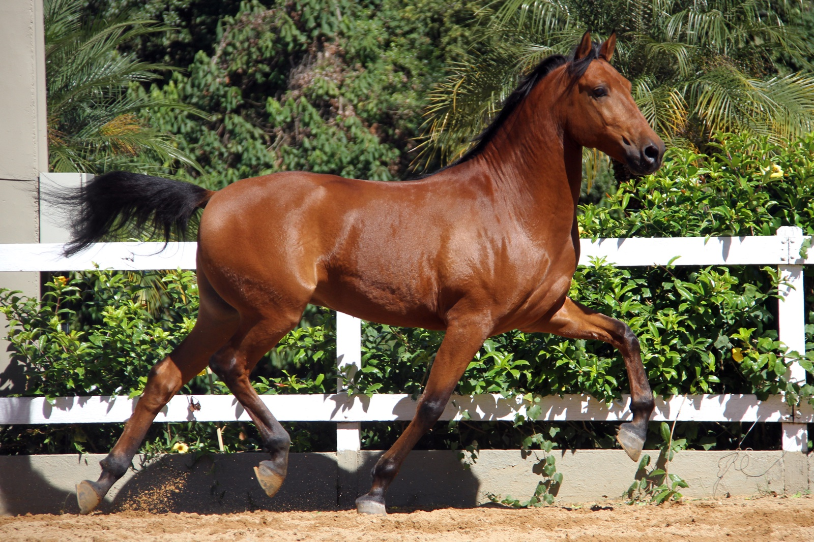Haras das Mangueiras - Cavalos a Vendas - Desejo das Mangueiras
