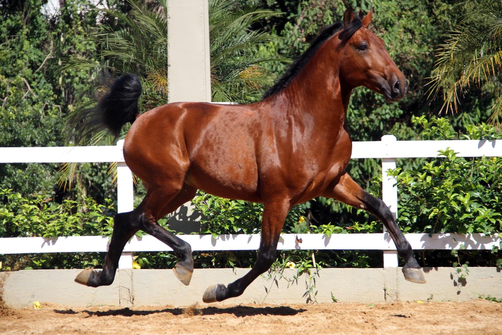 Haras das Mangueiras - Cavalos a Vendas - Francis Interagro