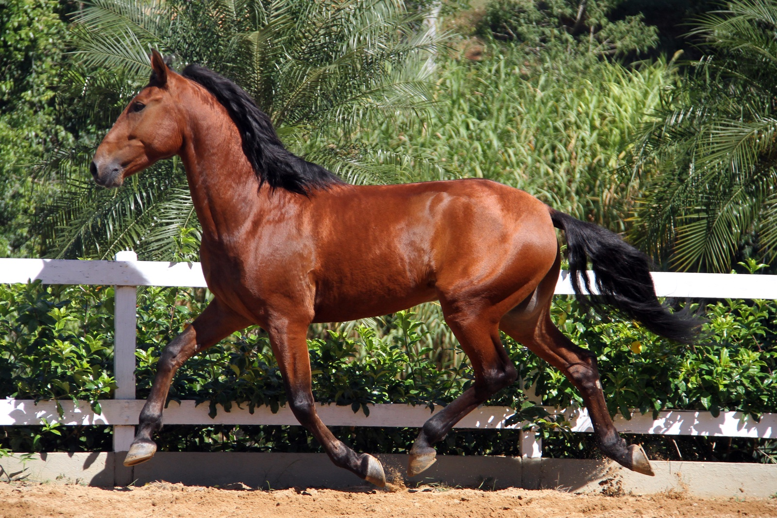 Haras das Mangueiras - Cavalos a Vendas - Funchal das Mangueiras