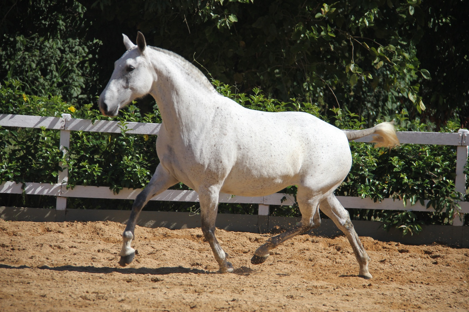 Haras das Mangueiras - Cavalos a Vendas - Gaia da Serra