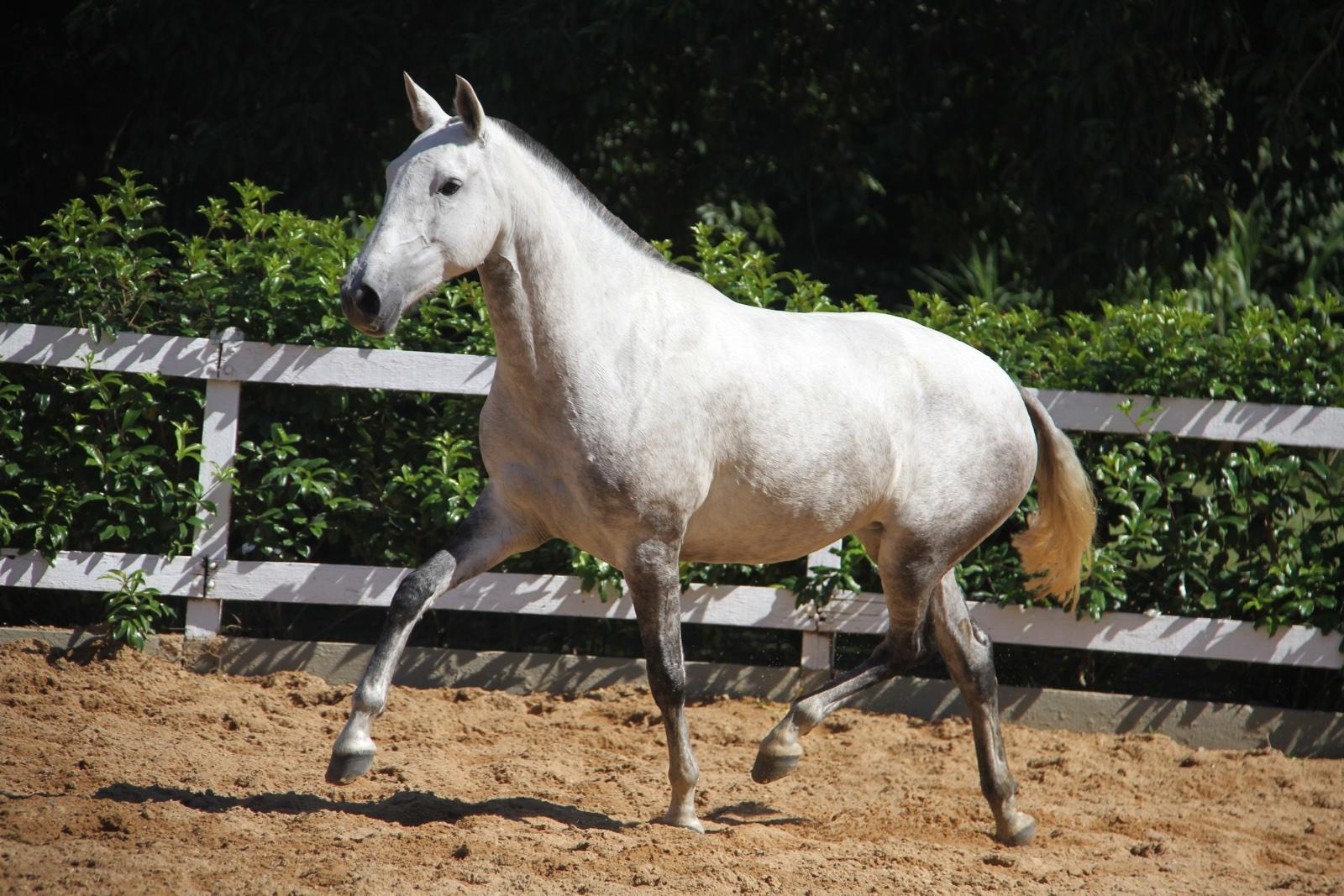 Haras das Mangueiras - Cavalos a Vendas - Garota das Mangueiras